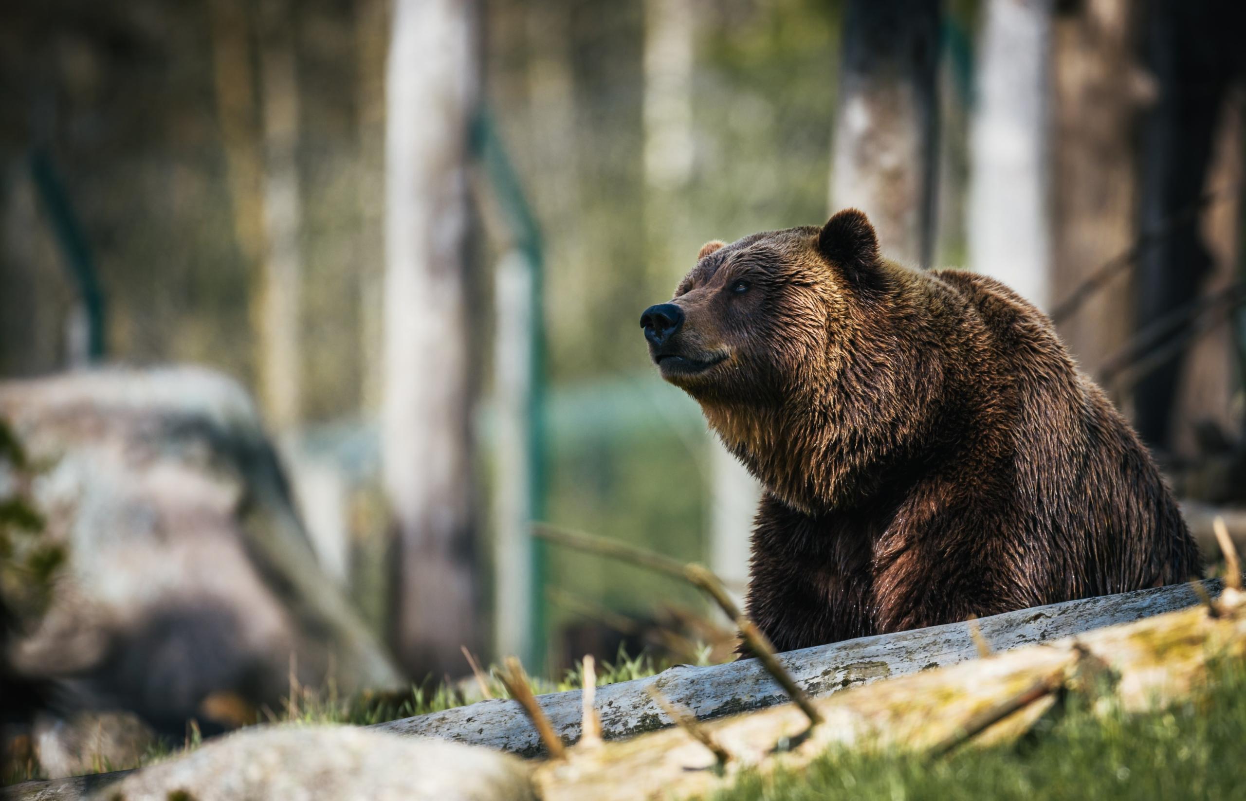 Niedźwiedzie – co o nich wiesz?